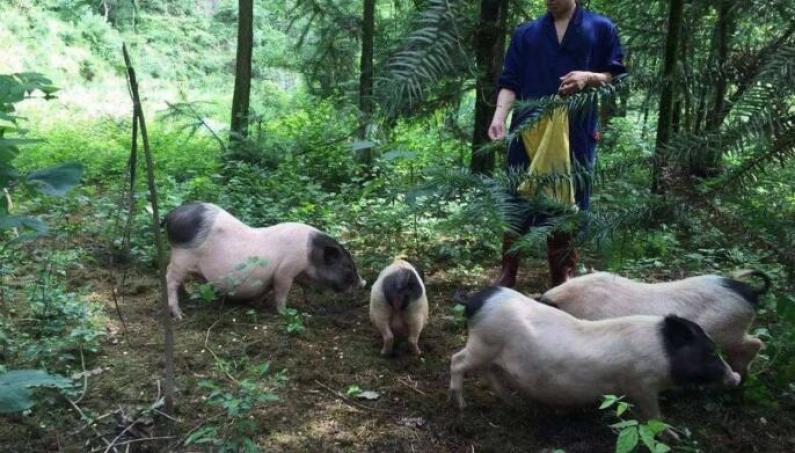 广西巴马香猪加盟