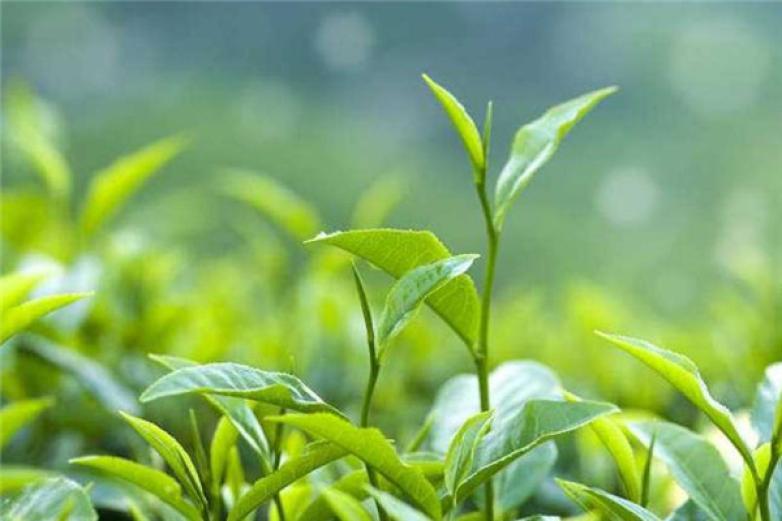 满园春茶叶加盟
