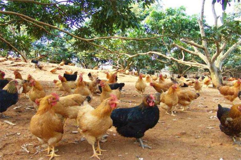 叮当鸡加盟