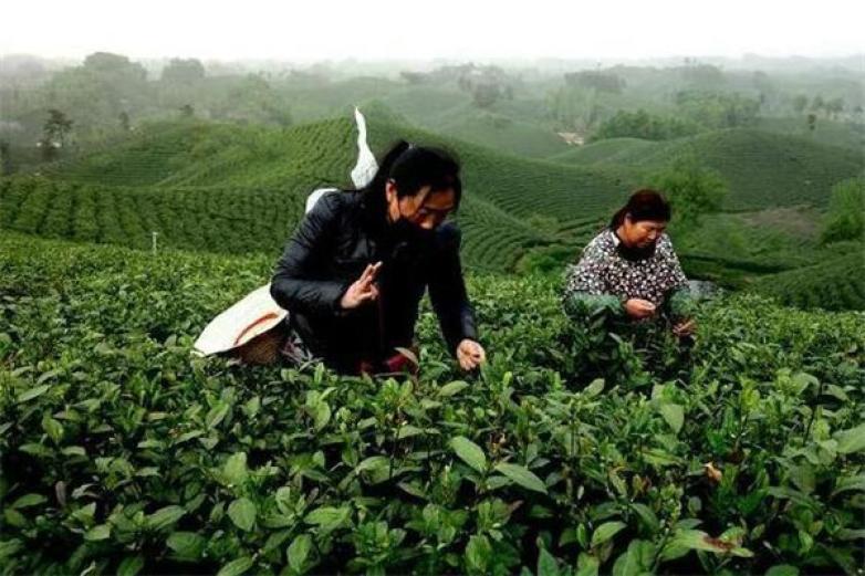 龙潭茶加盟