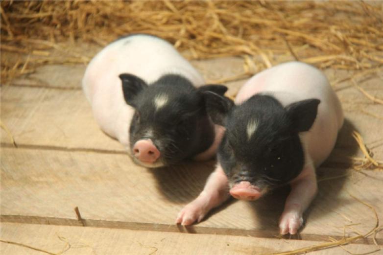 巴馬香豬加盟