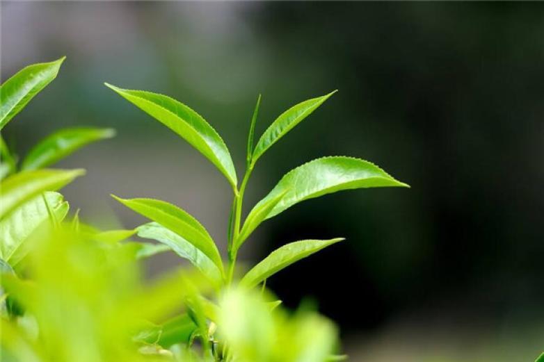 中茶茶业加盟