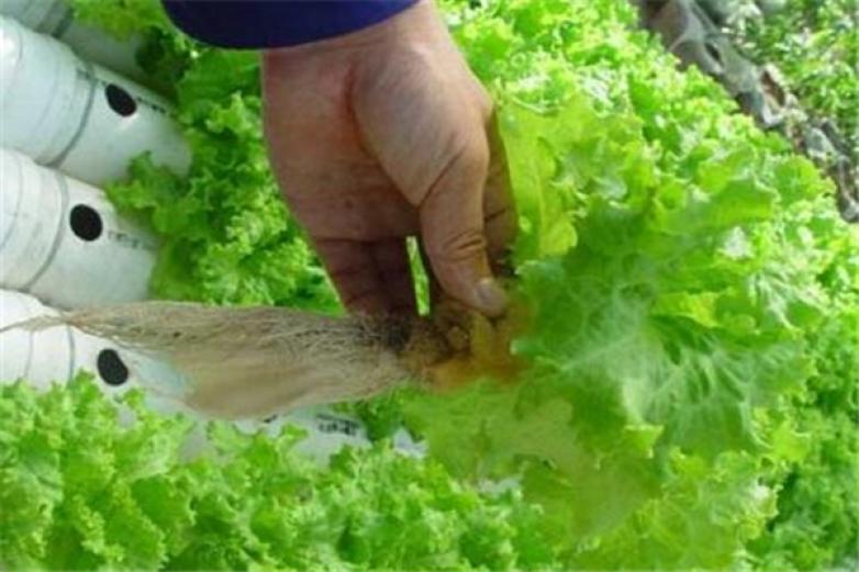 水培蔬菜加盟