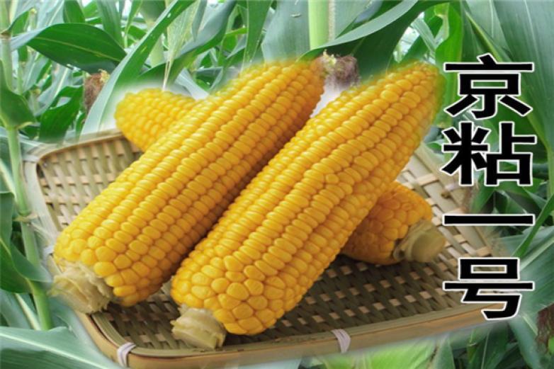 圳通垦粘一号粘玉米加盟