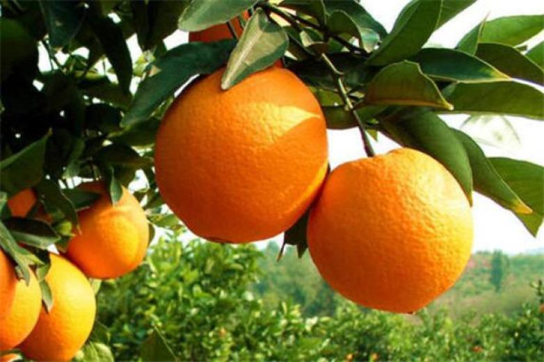 橙飞果园加盟