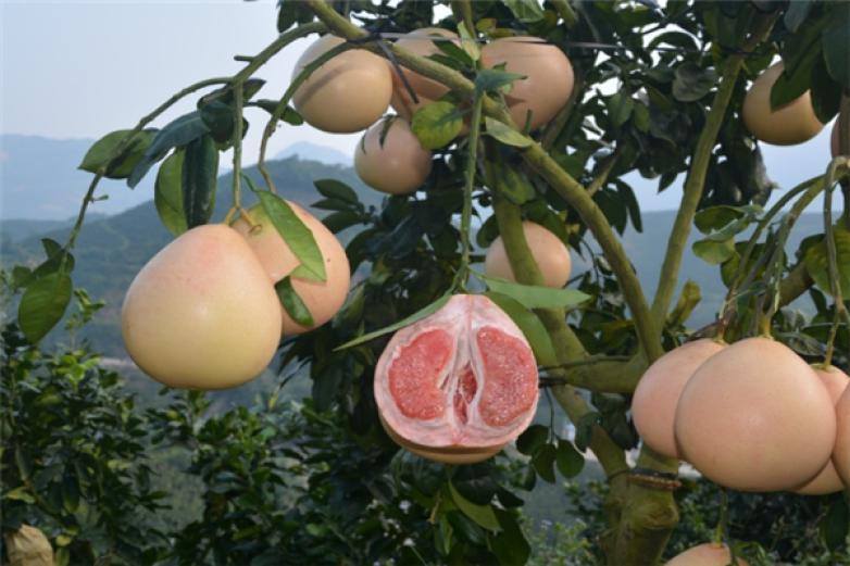 黄肉蜜柚加盟
