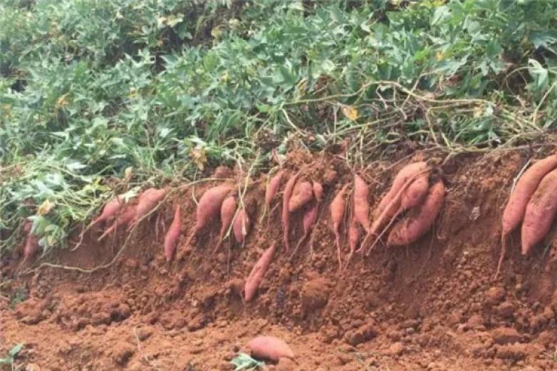 红薯基地加盟