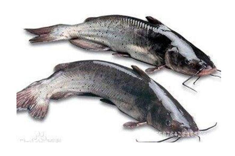 清江鱼加盟