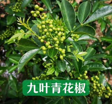 九叶青花椒