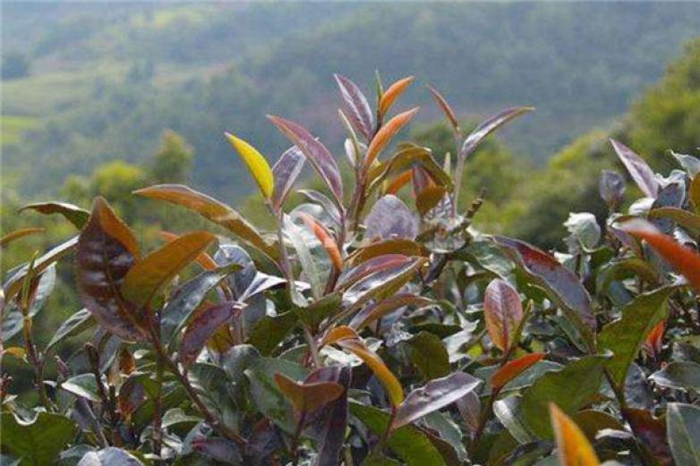 紫娟茶加盟