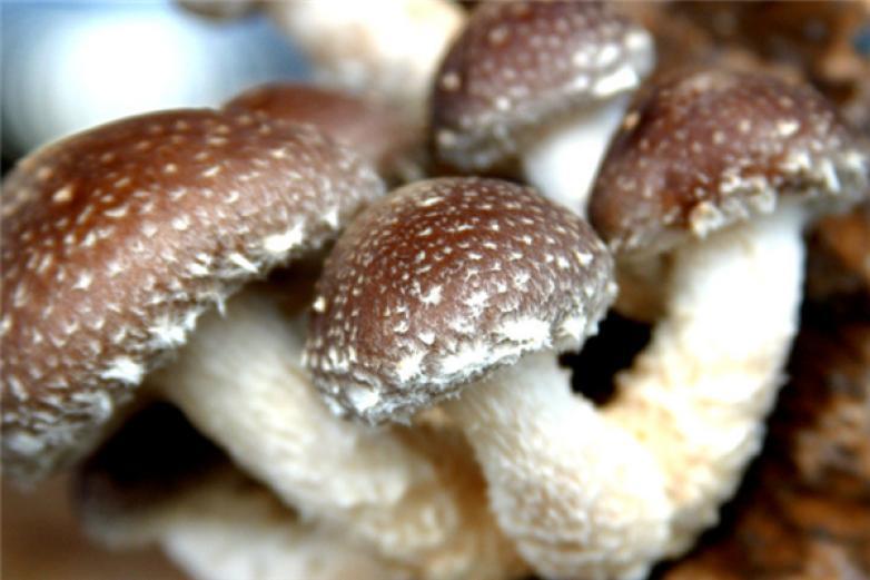 黃松甸食用菌加盟