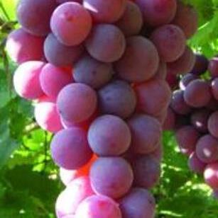 单秋蕾葡萄